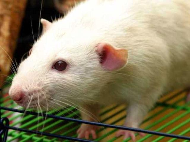 Крысы помогают выполнять работу по дому