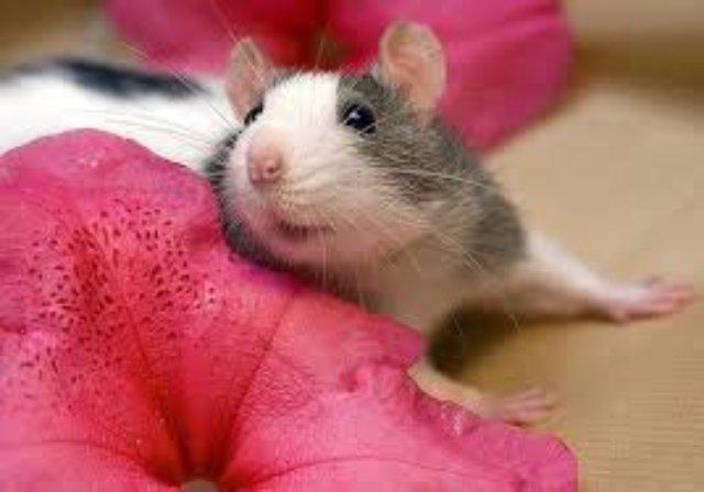 Крысы помогут разобраться в причинах бесплодия