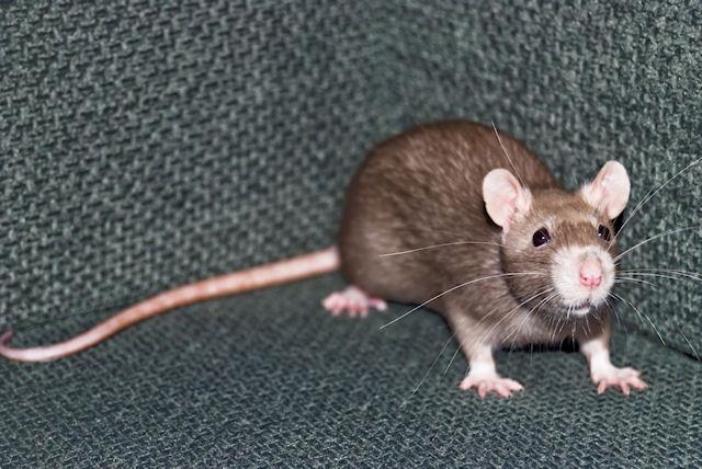 Крысы помогут голландским полицейским в поисках оружия