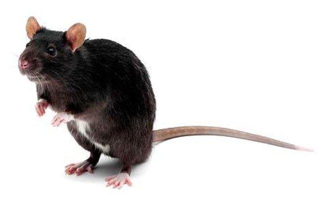 Крысы предпочитают спасение товарища шоколаду