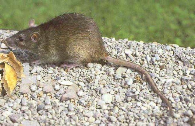 Крысы предпочли яд смерти