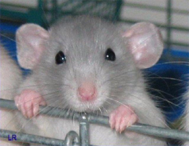 Крысы раскрыли тайну диеты Аткинса