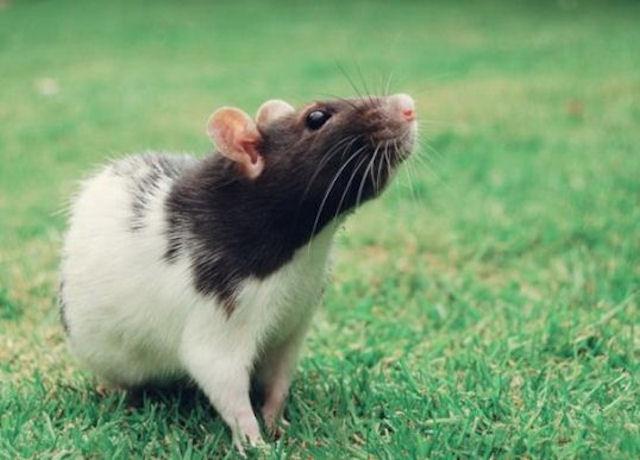 Крысы разгуливают по Твери