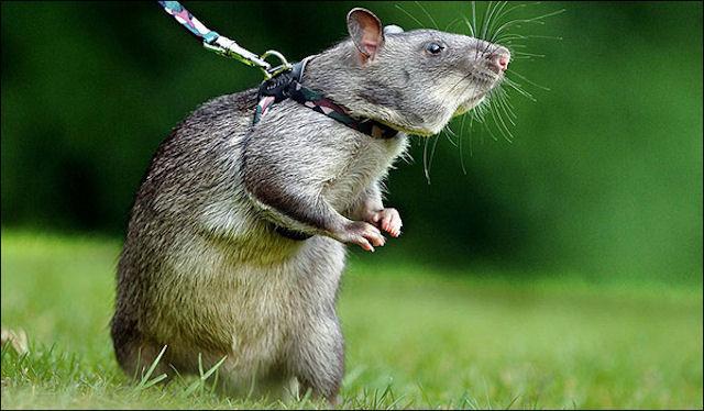 Благодаря человеческим стволовым клеткам удалось вылечить крыс с больными сердцами