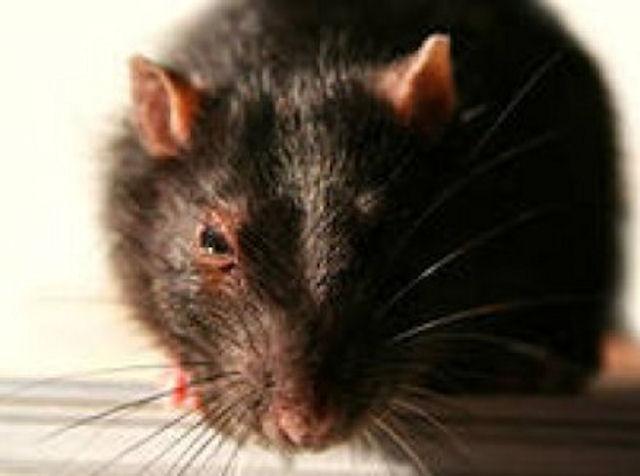 В Казахстане мутировали крысы, живущие рядом с хвостохранилищем