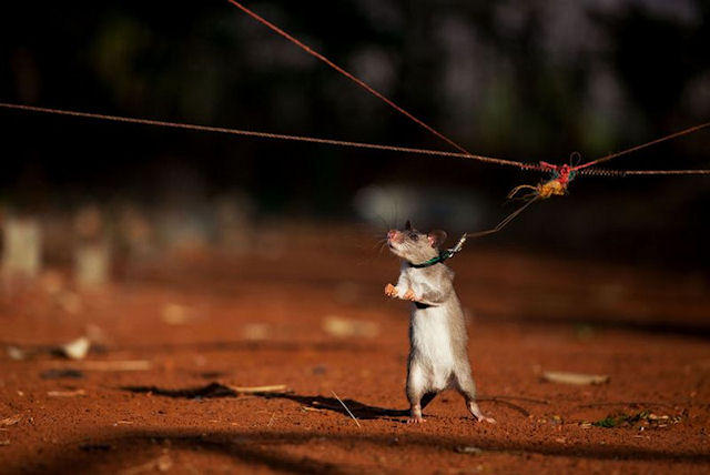 Эстонские крысы полакомились салоном автомобиля
