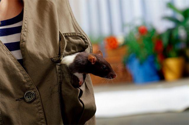Крысы-саперы на спасают жизни людей