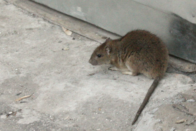 Крысы съели миллион рублей