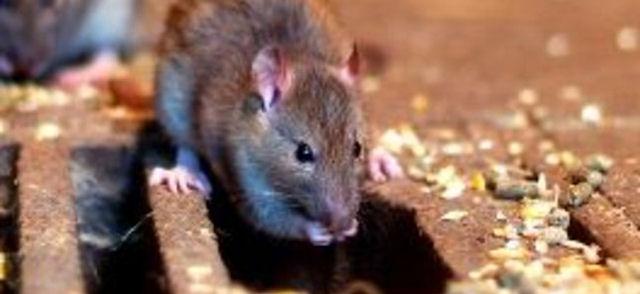 Крысы съели содержимое посылки, отправленной из Эстонии в Германию