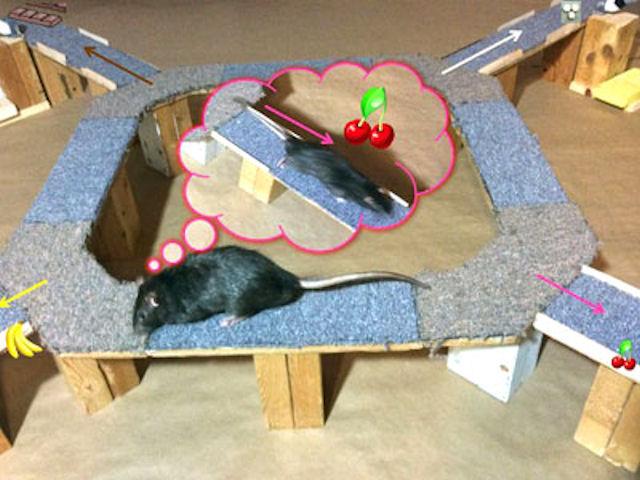 Крысы склонны к сожалению