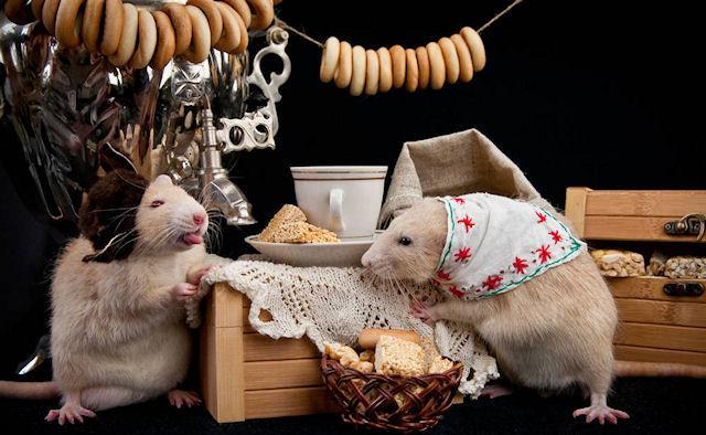 Декоративные крысы соревновались между собой в Казани