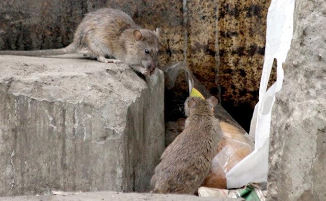 Крысы стали достопримечательностью Тулы