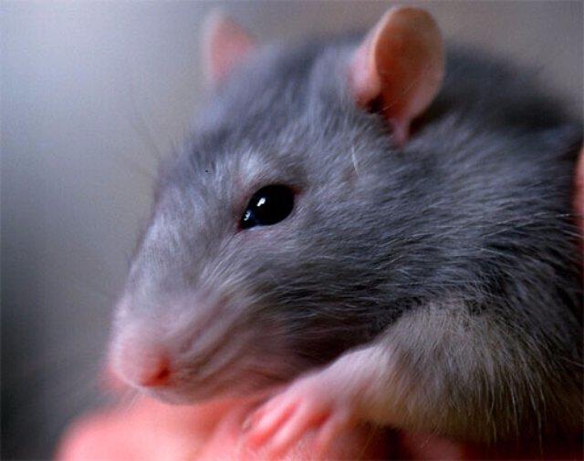 Крысы стали виновниками продовольственного кризиса в Индии