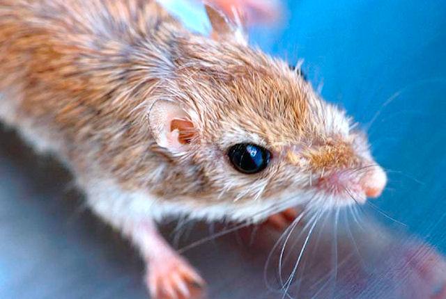 Крысы станут аналогами собак-ищеек