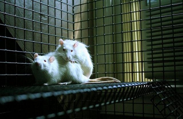 Крысы тоже умеют сопереживать
