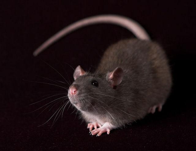Крысы умеют быть преданными