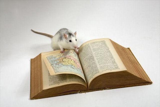 Крысы умеют мыслить