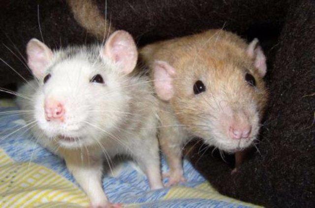 Крысы умеют улыбаться и смеяться