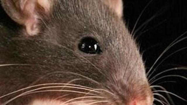 Крысы устроили себе «миллионный» обед
