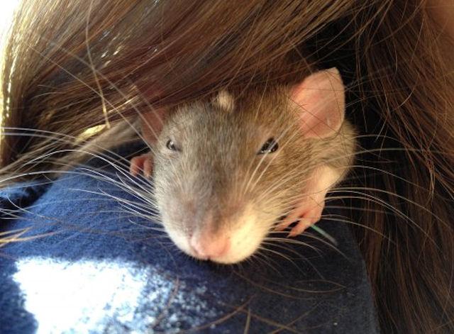 Крысы узнают социальный статус по запаху