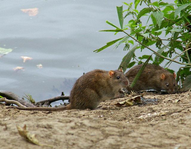 Британские муниципалитеты проигрывают битву с крысами-мутантами