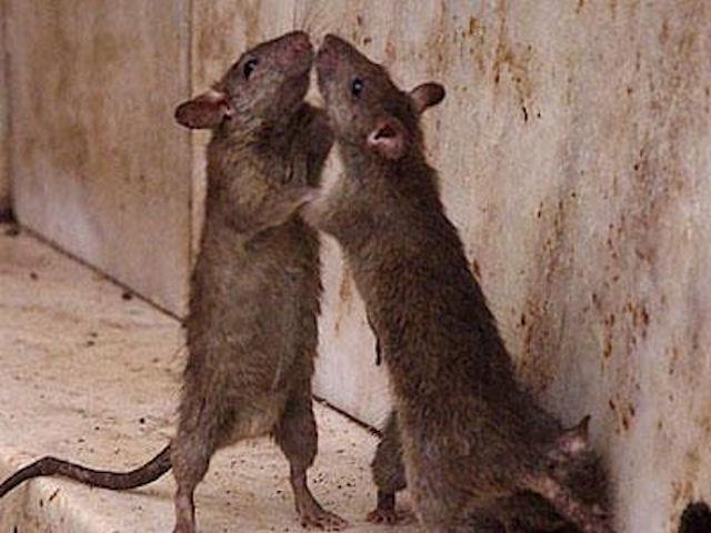 Крысы хозяйничают в Милане