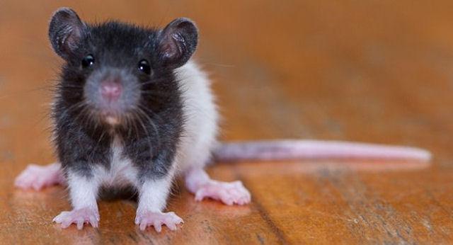 В Одессе выбрали самых красивых и проворных крыс
