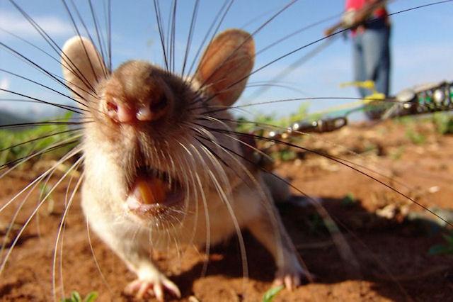 Крысы хозяйничают на земельных участках Азербайджана