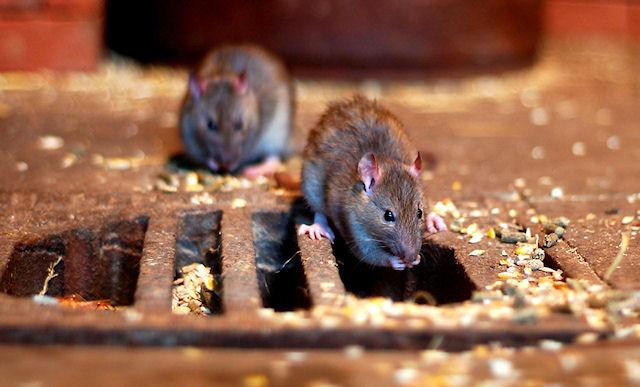 Во дворах Запорожья расплодились крысы