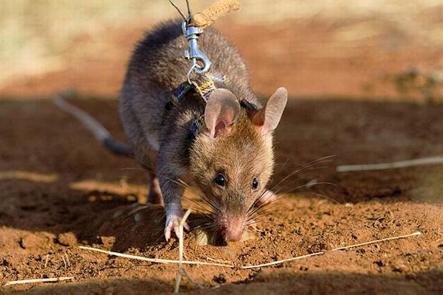 Крысы заселяют дома, покинутые при наводнении