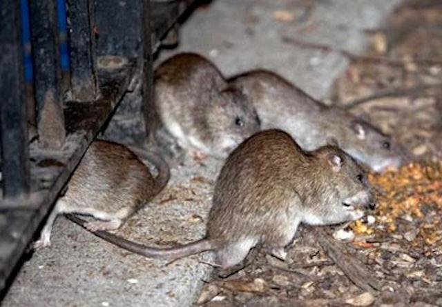 Крысы захватили дом в Купчино