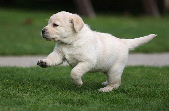 Купить щенка лабрадора: практические советы