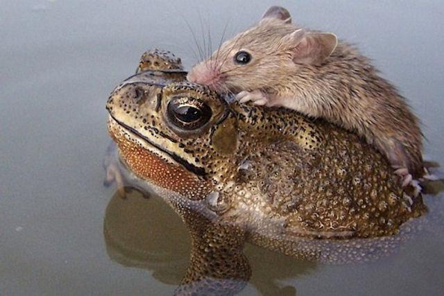 Лягушка стала спасительницей тонущей мыши