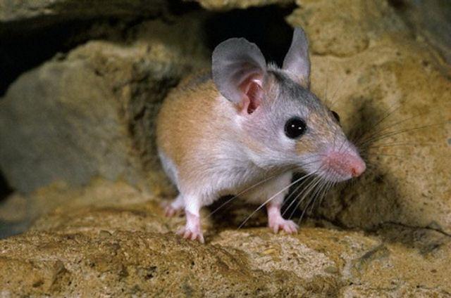 Маленькой мышке сделали уникальную операцию на лапке