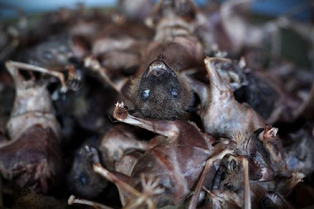 В Австралии зафиксирована массовая гибель летучих мышей
