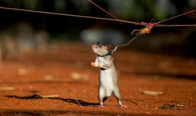 Материальный ущерб, нанесённый крысой, составил 1 миллион долларов