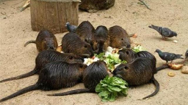 Москва объявляет войну крысам
