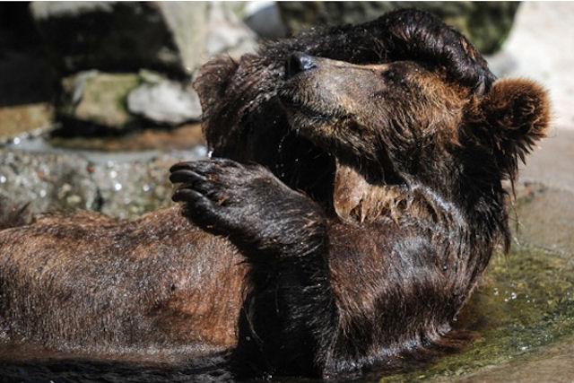 Медведи московского зоопарка до сих пор не вышли из спячки