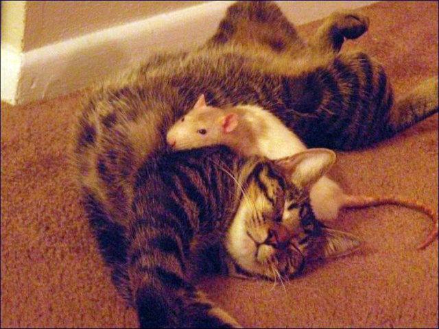 Мстительная крыса расправилась с прожорливой кошкой