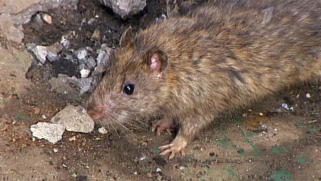 В Нижегородской области мужчина подвергся нападению бешеной крысы