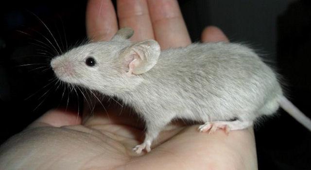 Китайская мышь-эстет воровала исключительно ювелирные украшения