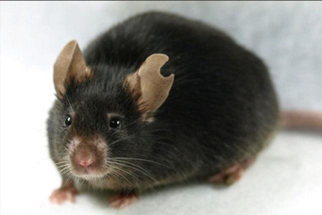 Ученые клонировали мышь из капли крови