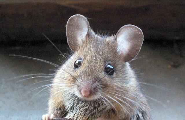 Мышь угощалась тортом на глазах покупателей супермаркета
