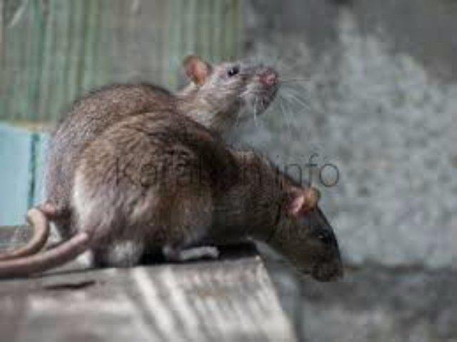 Мышевидные грызуны оккупировали поля Карабаха