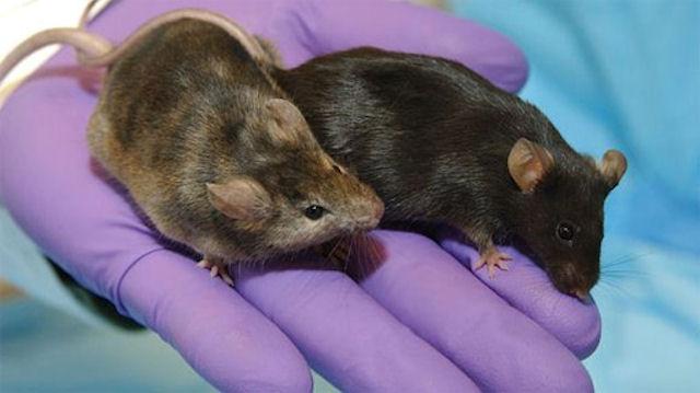 Мыши доказали, что черника снижает уровень холестерина