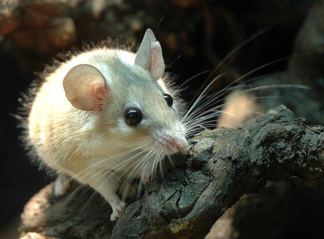 Люди услышали, как кашляют мыши