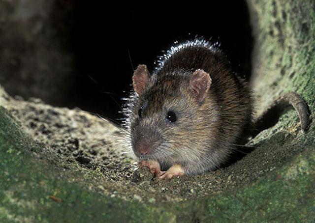 Мыши досаждают жителям Новосибирска