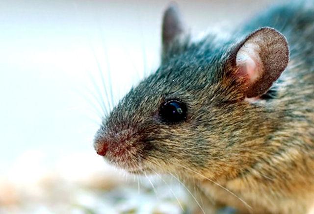 Мыши обладают запасным зрением