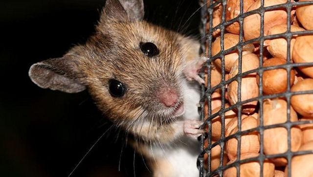 Мыши помечают территорию феромонами