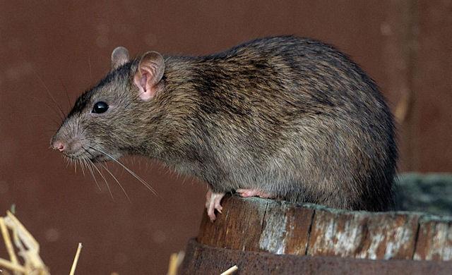 Мыши помогают в изучении миграции людей